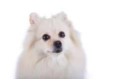 Fim pomeranian branco do cão acima da cara Imagem de Stock Royalty Free