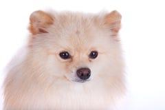 Fim pomeranian branco do cão acima da cara Imagem de Stock