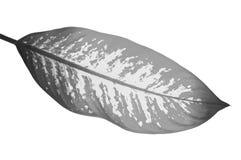 Fim preto e branco acima da folha do bastão mudo de Dumcane isolada no wh Fotografia de Stock Royalty Free