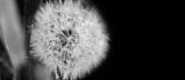 Fim preto e branco do dente-de-leão acima no fundo natural Flor do dente-de-leão no prado do verão imagem de stock