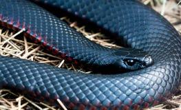 Fim preto Vermelho-inchado da serpente acima Foto de Stock Royalty Free