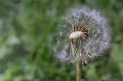 Fim principal do dente-de-leão acima com as sementes fundidas afastado pelo vento fotografia de stock royalty free