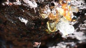 Fim principal vermelho de Myrmecocystus do honeypot da formiga acima do macro video estoque