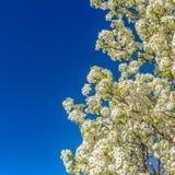 Fim quadrado do quadro acima de uma árvore da florescência branca isolada contra um fundo claro do céu azul foto de stock royalty free