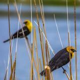 Fim quadrado do quadro acima dos pássaros que empoleiram-se em gramas marrons magros com o lago no fundo imagem de stock
