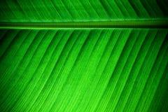 Fim retroiluminado acima dos detalhes de estrutura fresca da folha da banana com a nervura central paralela ao quadro nas veias d Fotos de Stock