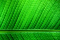 Fim retroiluminado acima dos detalhes de estrutura fresca da folha da banana com a nervura central paralela ao quadro no terceiro Fotografia de Stock Royalty Free