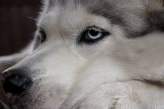 Fim ronco da cara do cão do Alasca acima com olhos azuis Retrato canino da cara Imagens de Stock