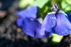 Fim roxo azul do lírio acima do tiro macro Imagens de Stock Royalty Free