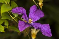Fim roxo bonito da flor do jardim acima Imagens de Stock