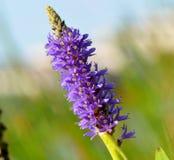 Fim roxo da flor acima Foto de Stock Royalty Free