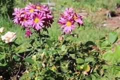Fim roxo da flor acima das flores fotos de stock