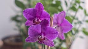 Fim roxo de florescência bonito da orquídea acima Foto de Stock Royalty Free