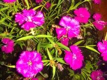 Fim roxo do centro da flor acima da vegetação rasteira a imagem de stock