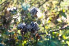 Fim secado do Carduus do cardo acima do tiro no por do sol, fundo bonito Imagens de Stock