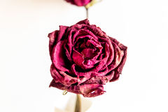 Fim seco da rosa acima Imagem de Stock Royalty Free
