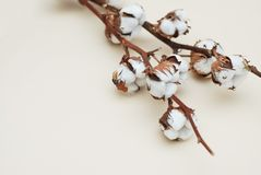 Fim seco do ramo da flor do algodão acima no fundo claro do marfim com espaço do texto foto de stock