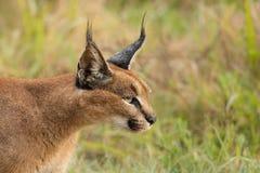 Fim selvagem adulto de Caracal acima de principal e de ombros Fotos de Stock Royalty Free