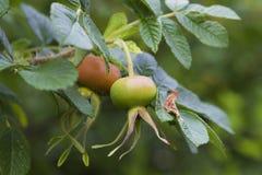 Fim selvagem do fruto das rosas acima Imagem de Stock