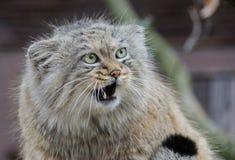 Fim selvagem do manul do gato acima do retrato Fotografia de Stock
