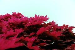 Fim similar cor-de-rosa vermelho da textura das folhas de bordo acima da natureza fotos de stock royalty free