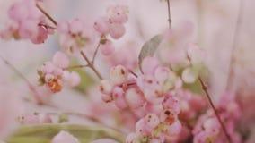 Fim super acima do tiro do snowberry colorido cor-de-rosa na decoração do casamento vídeos de arquivo