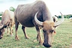 Fim tailandês do búfalo ascendente e família do búfalo Imagem de Stock