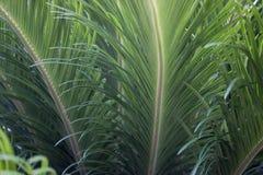 Fim tropical verde da textura das folhas acima do fundo Macrophotography do ramo da palma imagens de stock
