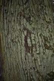 Fim velho da casca de árvore acima com musgo nele foto de stock royalty free