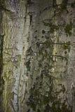 Fim velho da casca de árvore acima do fundo da textura imagem de stock royalty free