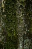 Fim velho da casca de árvore acima do fundo da textura imagens de stock