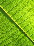 Fim verde da folha da teca acima Fotografia de Stock