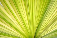 Fim verde da folha de palmeira acima Foto de Stock
