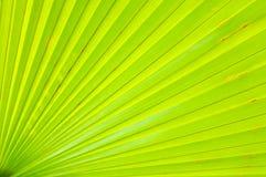 Fim verde da folha de palmeira acima Imagem de Stock