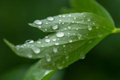 Fim verde da folha que mostra acima gotas de água Fotografia de Stock Royalty Free