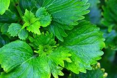 Fim verde fresco da folha acima Fotografia de Stock Royalty Free