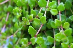 Fim verde fresco da folha acima Fotos de Stock
