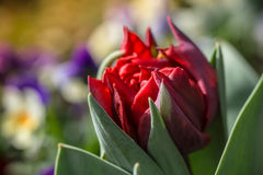 Fim vermelho da tulipa acima com os pansies no fundo Imagem de Stock
