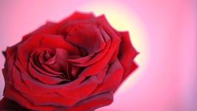 Fim vermelho de desvanecimento da rotação de Rose Flower acima do fundo Obscuridade bonita - close up de Rosa vermelha S?mbolo do video estoque