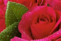 Fim vermelho de Rosa acima Fotos de Stock