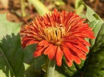 Fim vermelho do amarelo da flor de Zinia acima Fotos de Stock