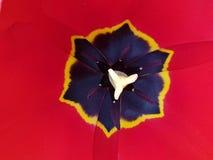 Fim vermelho do centro da tulipa acima Imagens de Stock Royalty Free