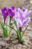 Açafrão violeta bonito Fotos de Stock Royalty Free