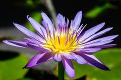 Fim violeta da flor de lótus acima Fotografia de Stock Royalty Free