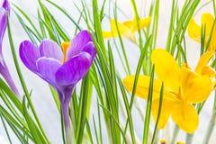 Fim violeta e amarelo do açafrão acima Imagens de Stock Royalty Free