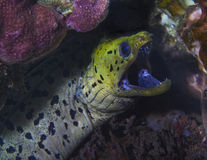 Fimbrated Moray Eel with cleaner shrimp Royalty Free Stock Image