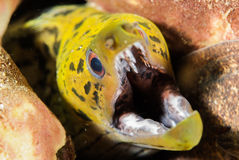 Fimbriated moray eel in Ambon, Maluku, Indonesia underwater photo Royalty Free Stock Photography