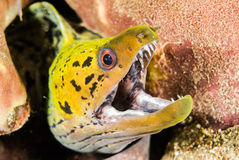 Fimbriated moray eel in Ambon, Maluku, Indonesia underwater photo Stock Photography