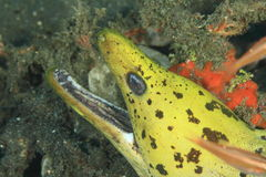 Fimbriated moray Royalty Free Stock Photos