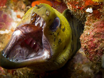 Fimbriated moray with sharp teeth. Underwater Royalty Free Stock Photos
